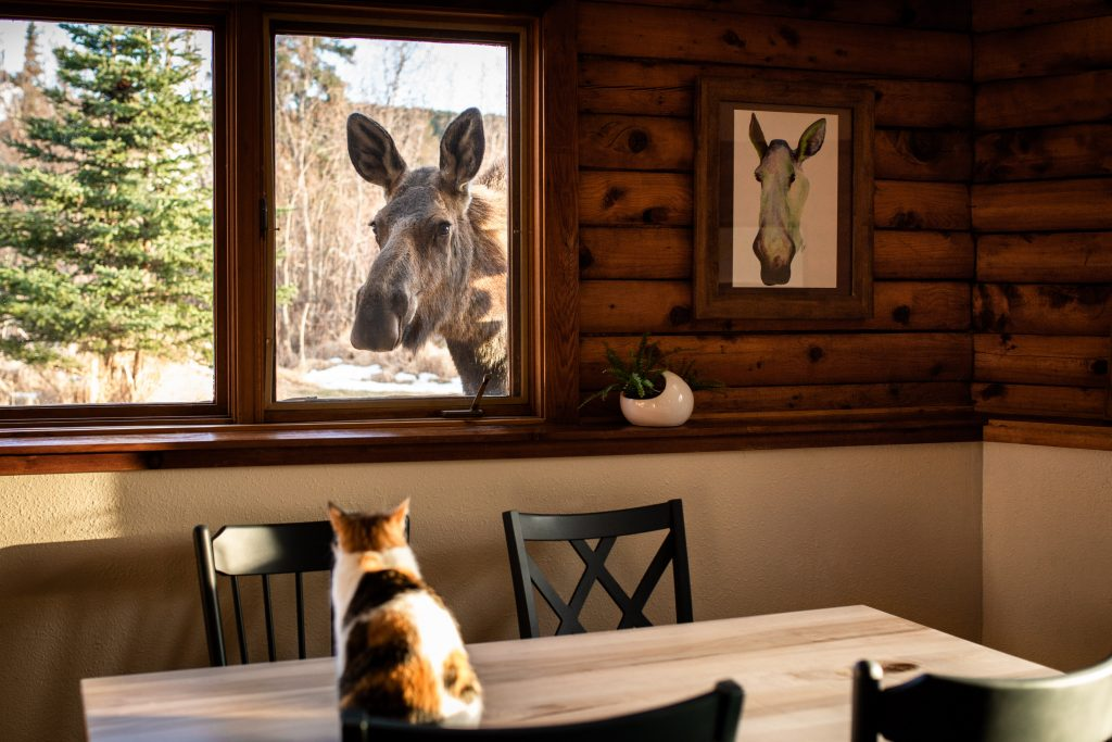 A cat sits on kitchen table looking out the window at a cow moose, whose profile matches a cow moose painting on the wall