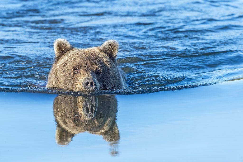 Bear swimming across river