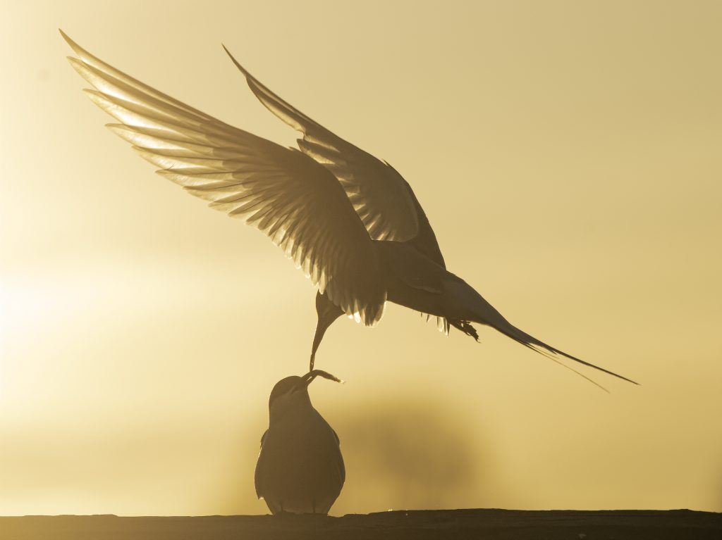 An arctic tern delivering fish to another arctic tern backlit by setting sun.