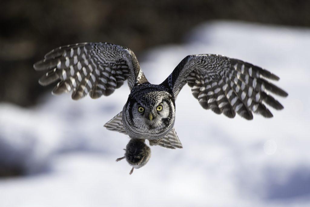 hawk owl flying with prey in talons