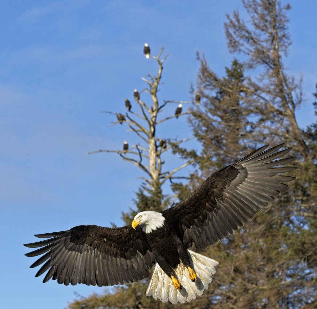 Bald eagle with wings spread in front of tree of bald eagles