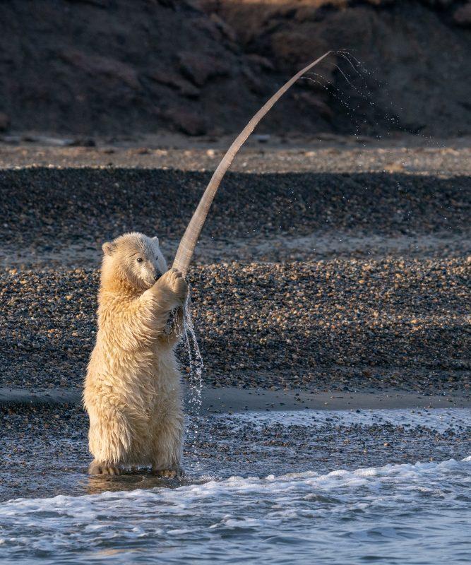 A polar bear cub holds a large piece of baleen.