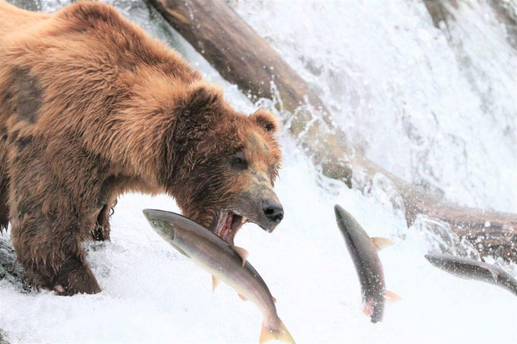 A brown bear snags a jumping salmon at brooks falls