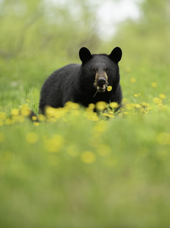 Black bear eats from a field of dandelions