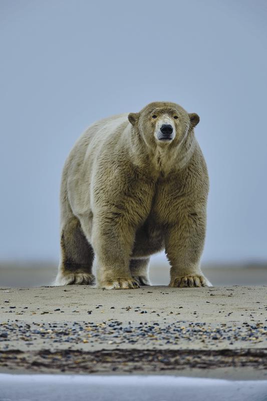Massive polar bear