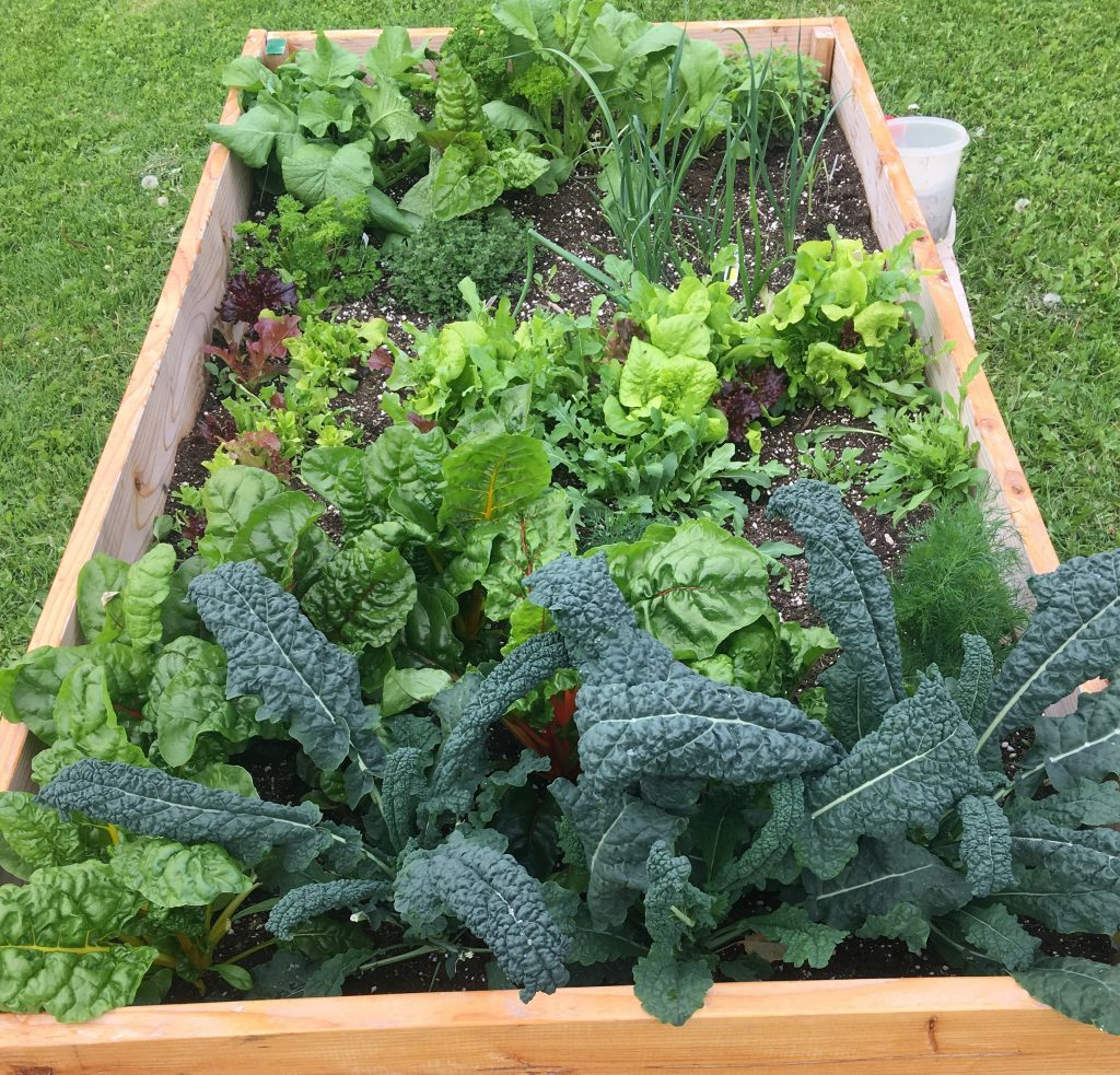 A raised garden bed with fresh greens