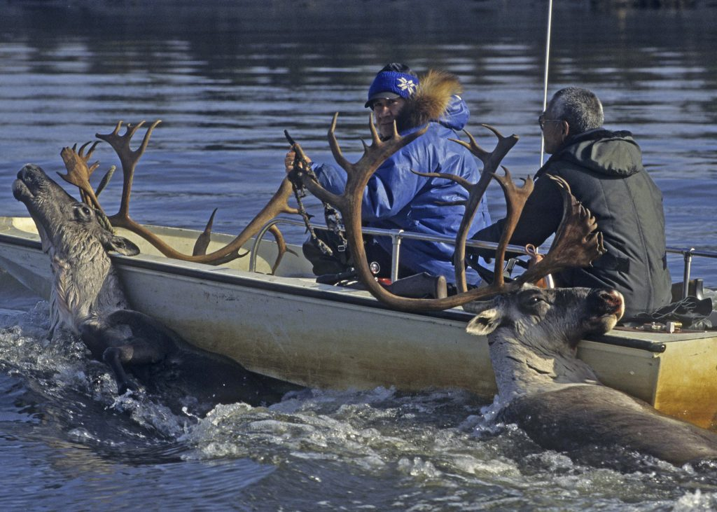 Two men steer a boat with bull caribou hanging off the side.