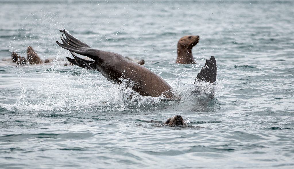 Sea lions play and jump in the water in Inian Islands