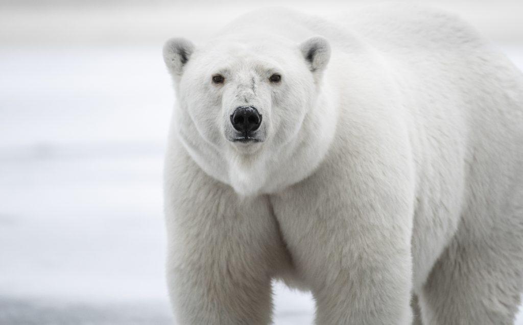 polar bear looks into camera in Kaktovik