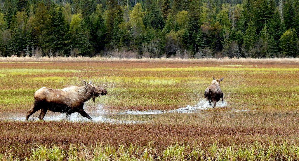 Two moose walking through marsh