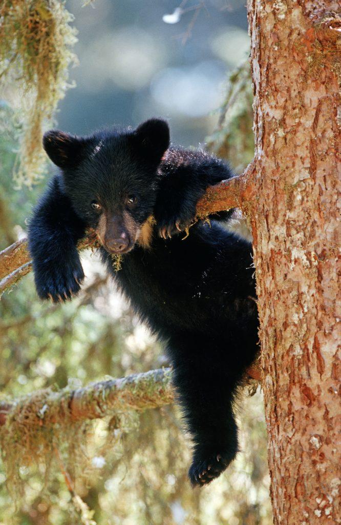 black bear cub hangs onto a tree branch