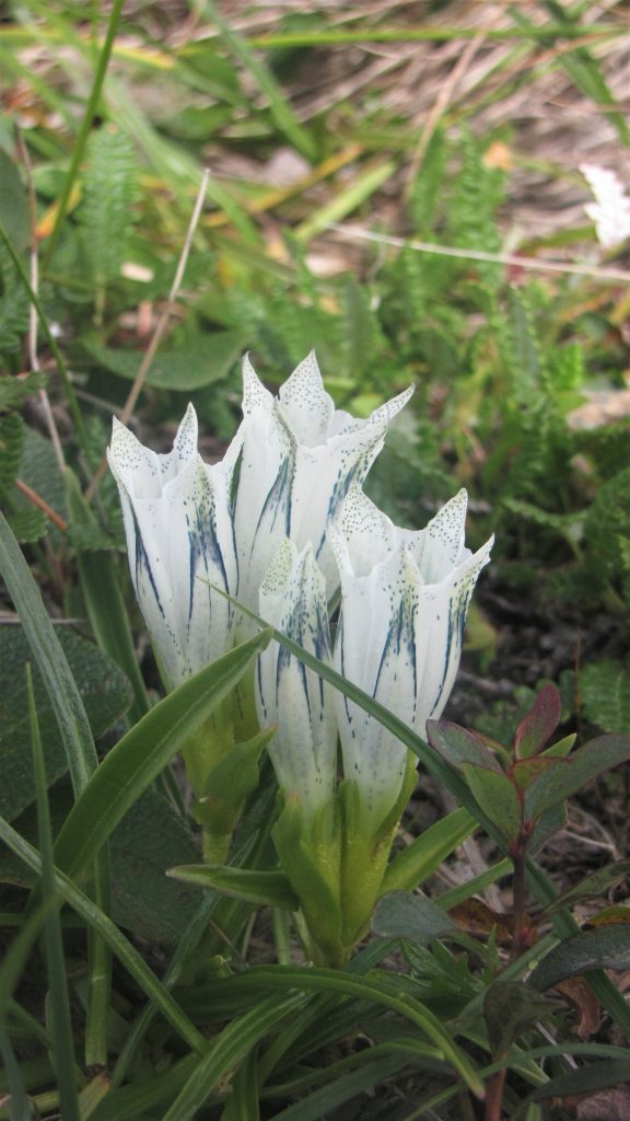 white-blue wildflower