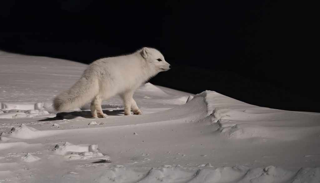 An arctic fox walking on snow at night