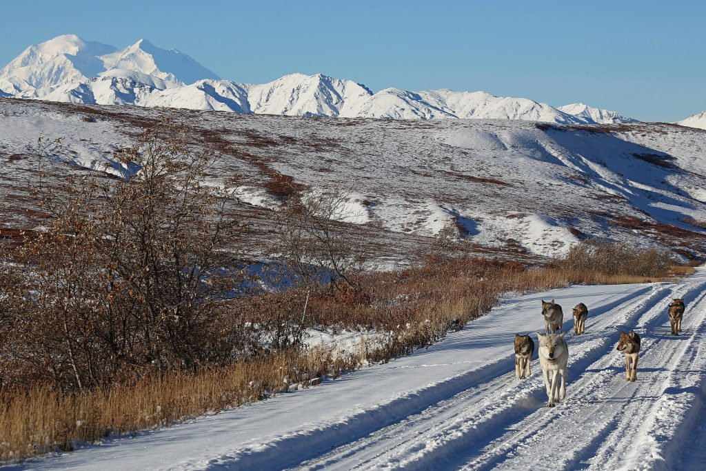 Pack of wolves walk along a snow road in Denali