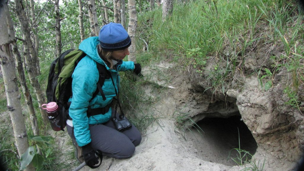 opening to an empty wolf den in Denali