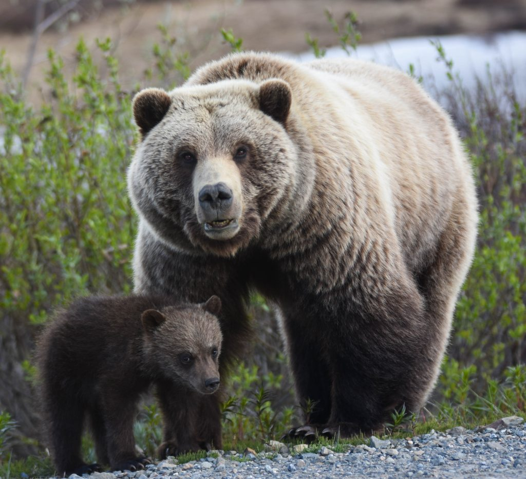 Denali National Park Grizzly sow and cub