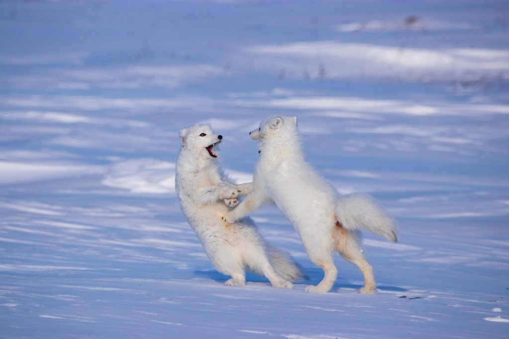 two arctic foxes in white plumage are on their hind legs with mouths open and paws stretched toward one another