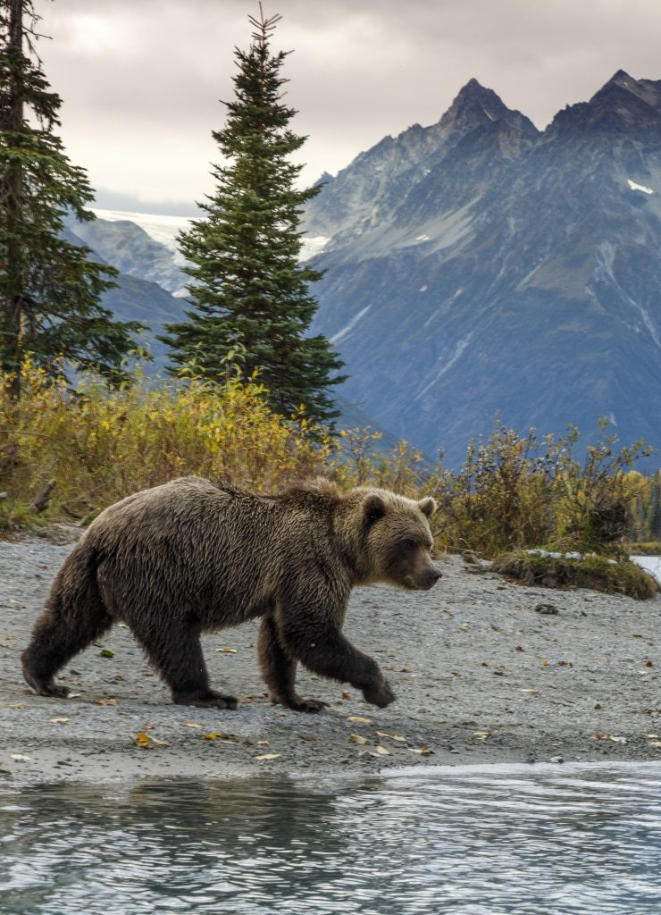 grizzly walking on beach in Lake Clark National Park