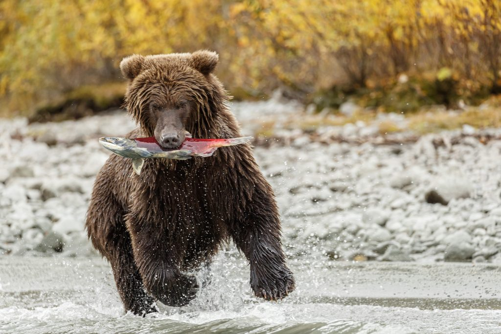 A bear runs with sockeye salmon in it's mouth