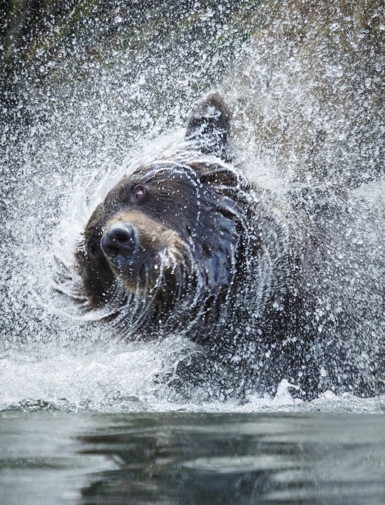 grizzly bear shaking water off