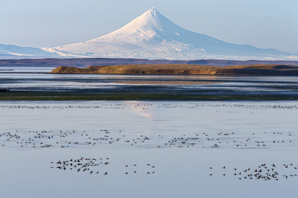 Birds feed on a lake with triangular volcanic peak, Mount Shishaldin, covered in snow in background