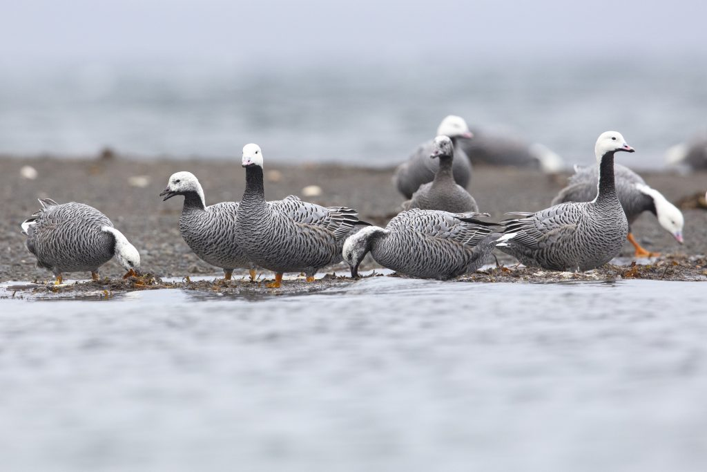 Emperor geese feeding on a sandbar