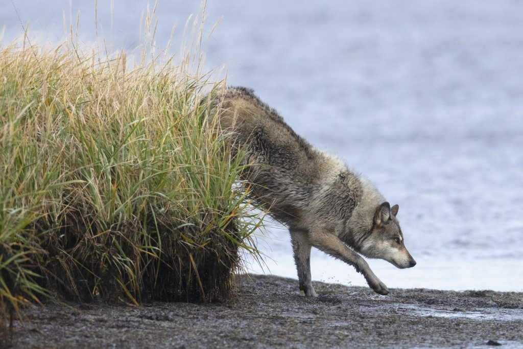 gray wolf stepping out of grass onto the beach