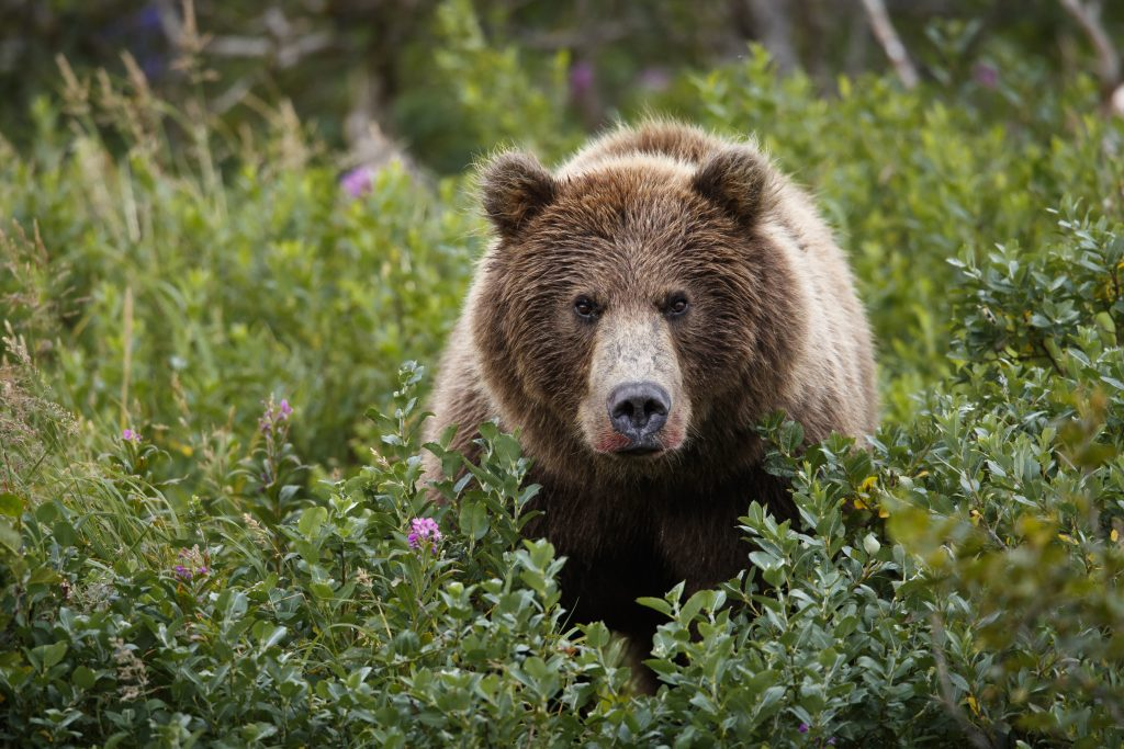 Head on shot of a grizzly bear surrounded by green bushes