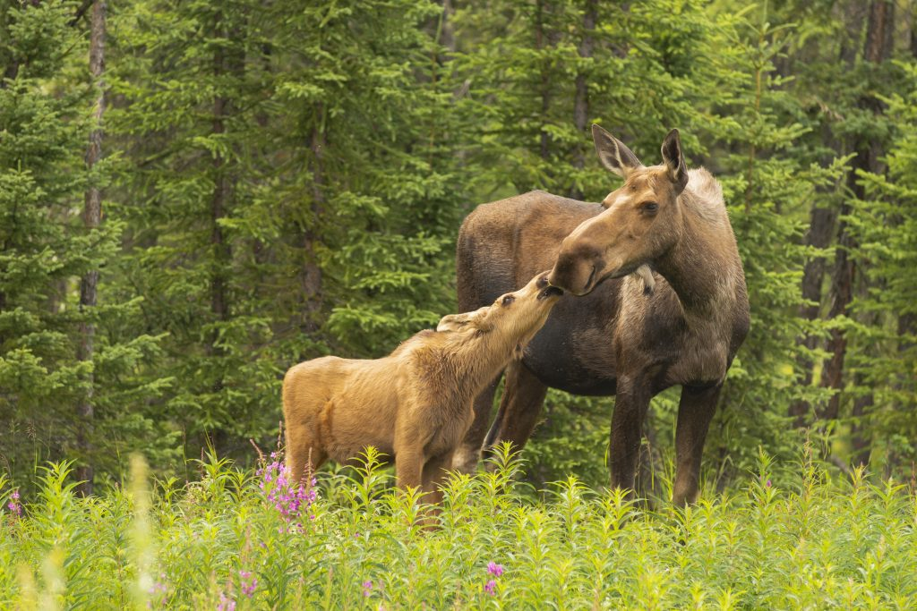Moose Calf Touches His Nose to the Mouth of his Mother Cow in field of fireweed with forest behind