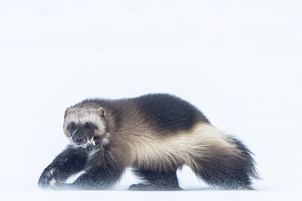 Wolverine walking through snowy landscape
