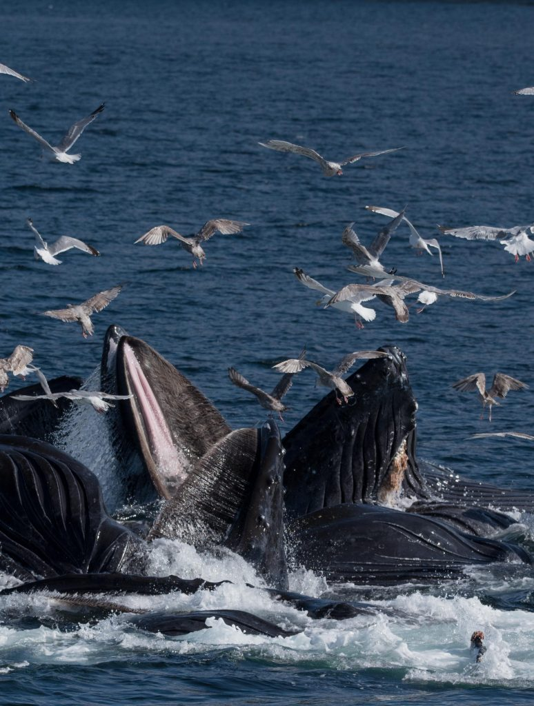 Humpback whales bubble-net feeding at surface gulls swarm above
