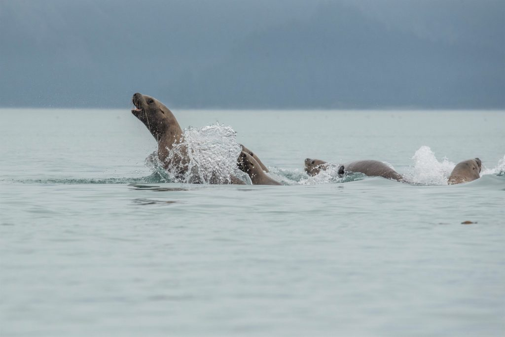 Sea lions leaping out the surface