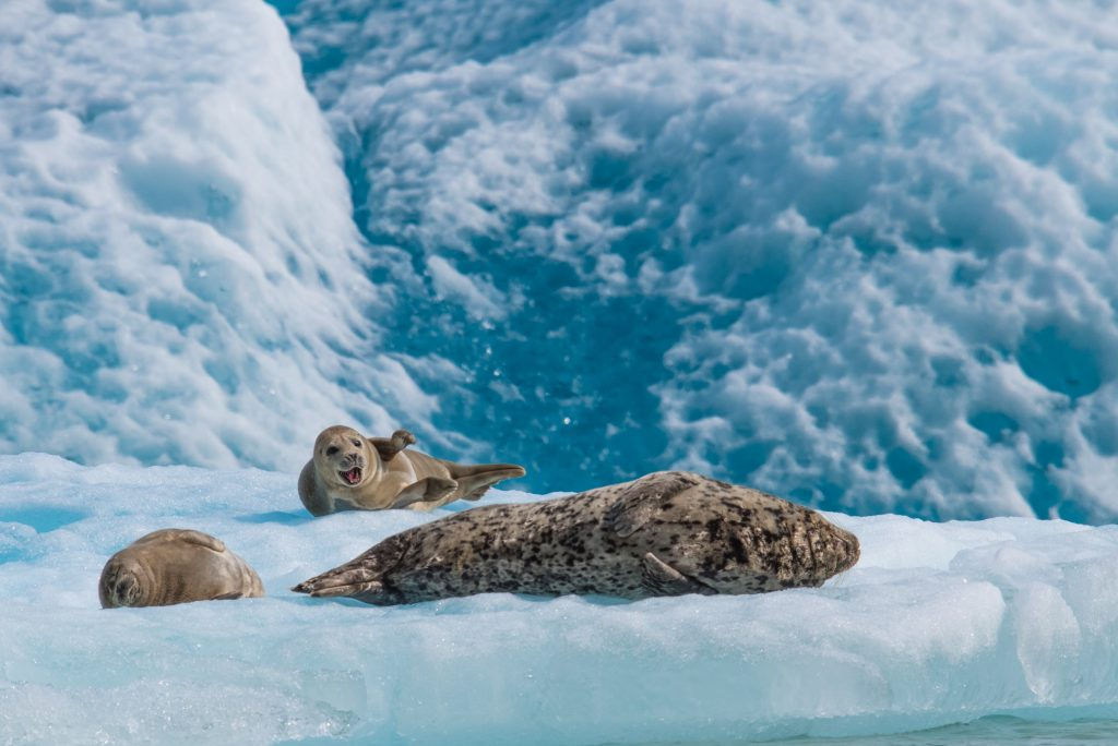 A mother harbor seal and pups resting on an ice flow