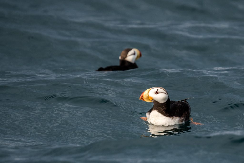 Two horned puffins floating on water surface