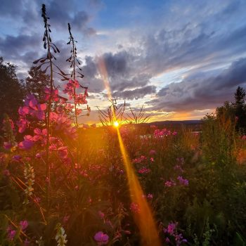 Fireweed Solstice