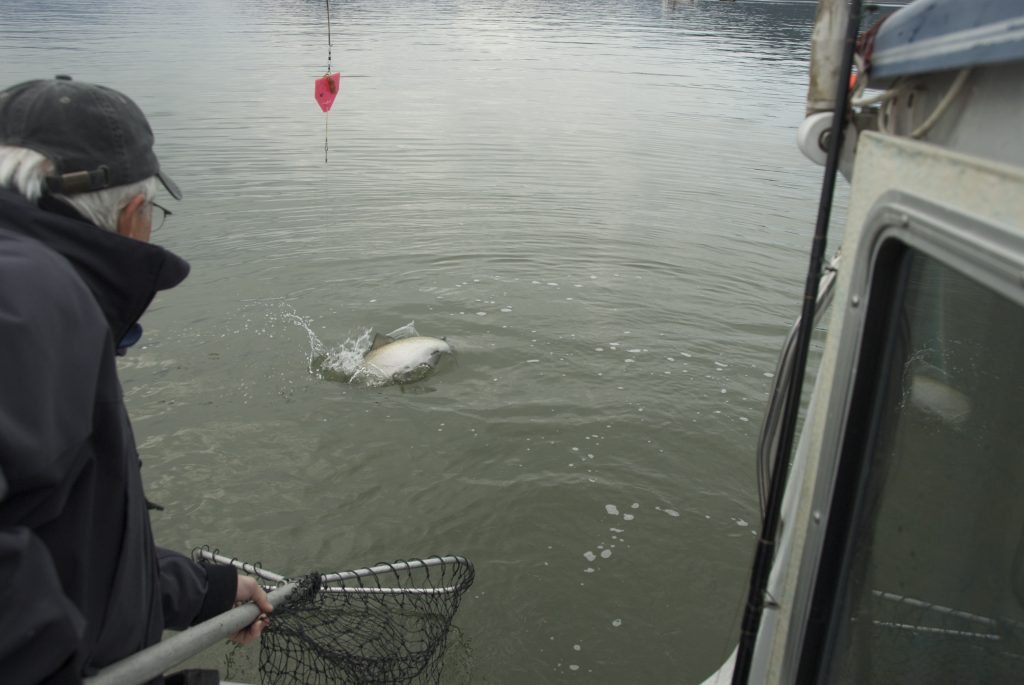 A guy holds out net about to bring in a king flopping at the surface
