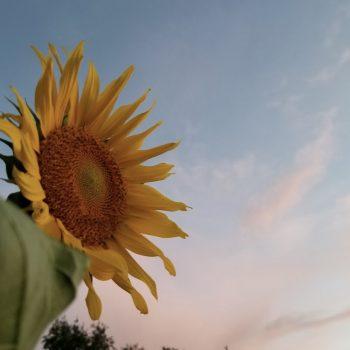Himalayan Salt Sunset with Sunflower
