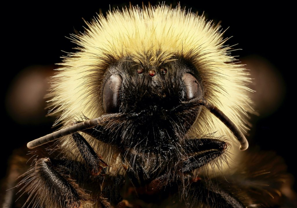 Extreme close up on a bumblebee face