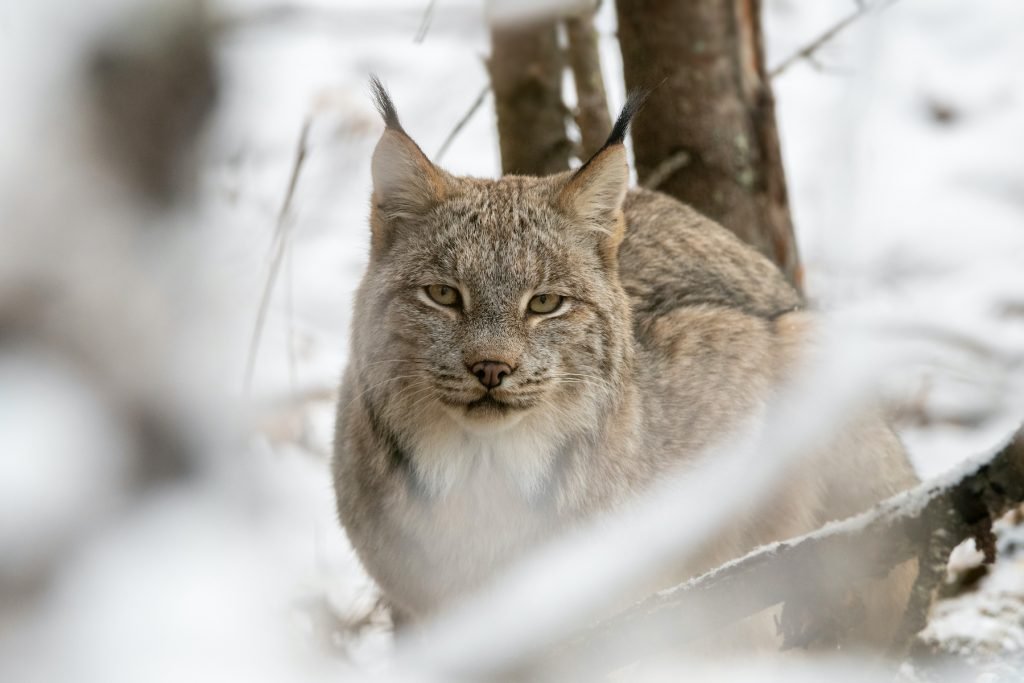 Female lynx looks at camera between tree branches in winter.