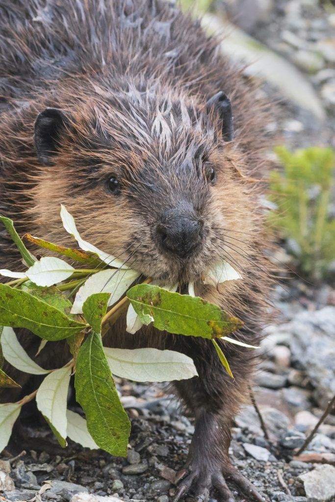 Close on a beaver carrying a leafy branch in its mouth