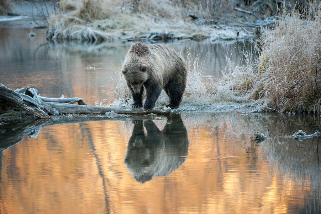 A brown bear looks in water surrounded by frost-covered grass