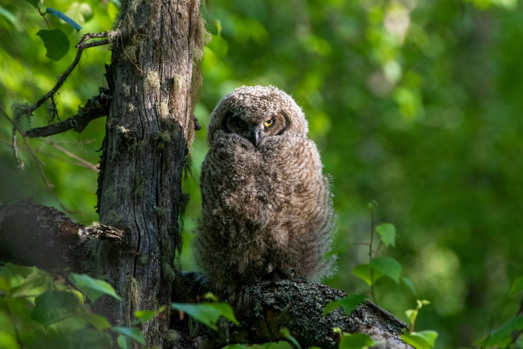 Great horned owl looks at camera and sits perched in tree near trunk surrounded by green foliage