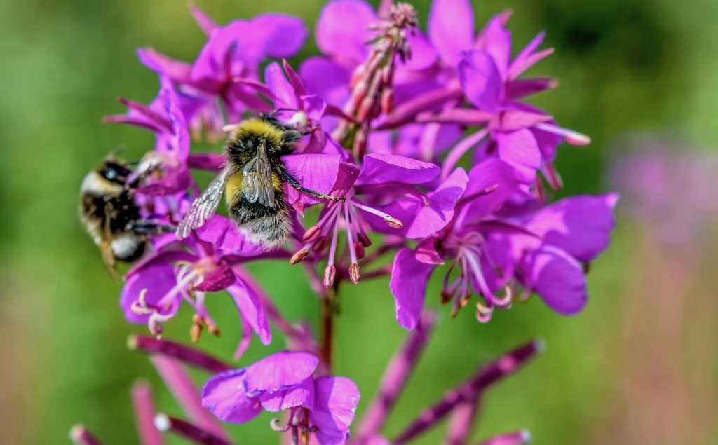 Close on fireweed flowers and bumblebees feeding on the nectar