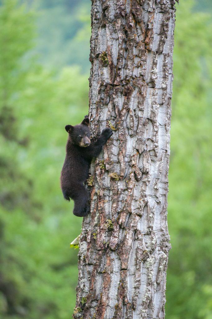 A black bear cub climbs a cottonwood tree trunk