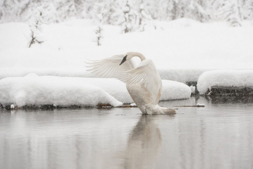 Swan spreads wings and sits in water surrounded by lots of fresh snow