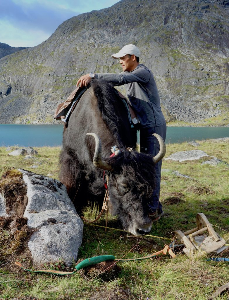 Man puts a saddle on the back of a yak