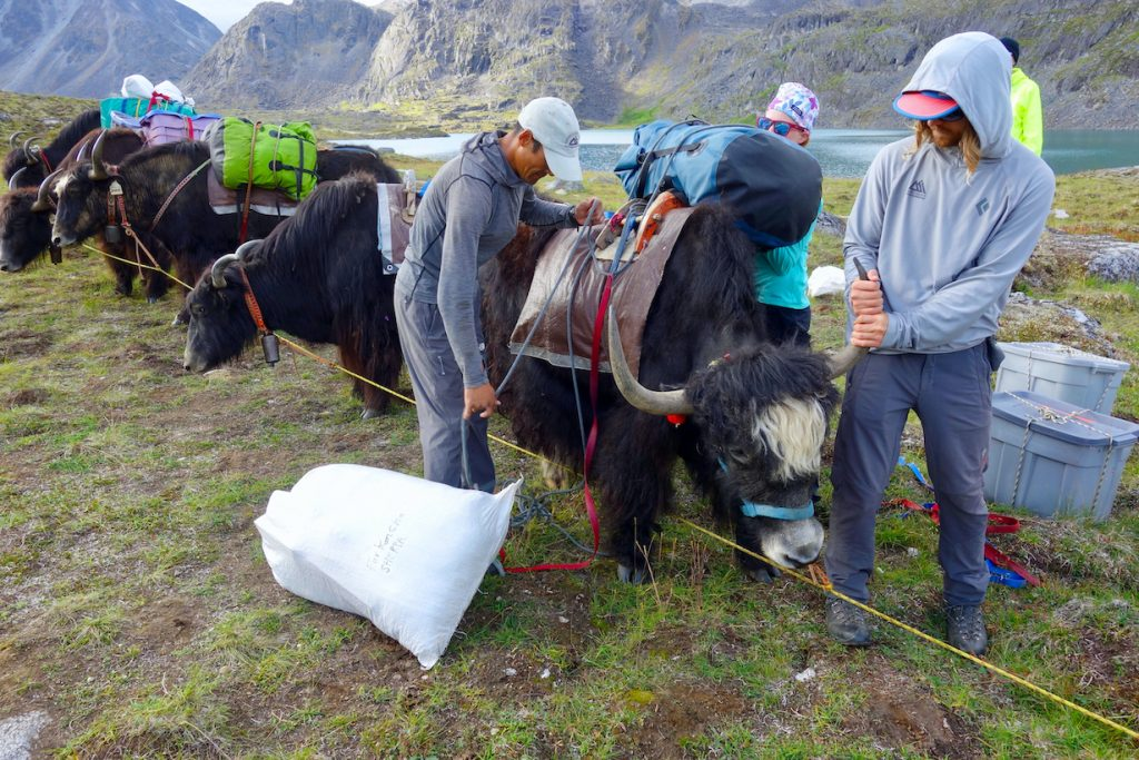 Two people attached gear to a Yak strung up to a line