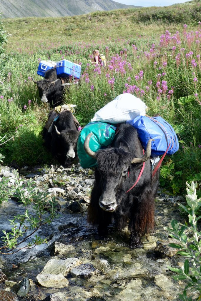 Line of yaks crossing a mountain stream