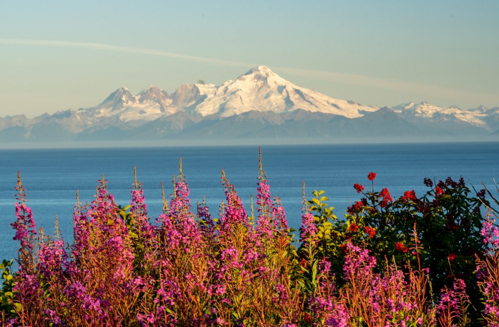 Fireweed in foreground, ocean behind, and volcanic mountain in distance with snow