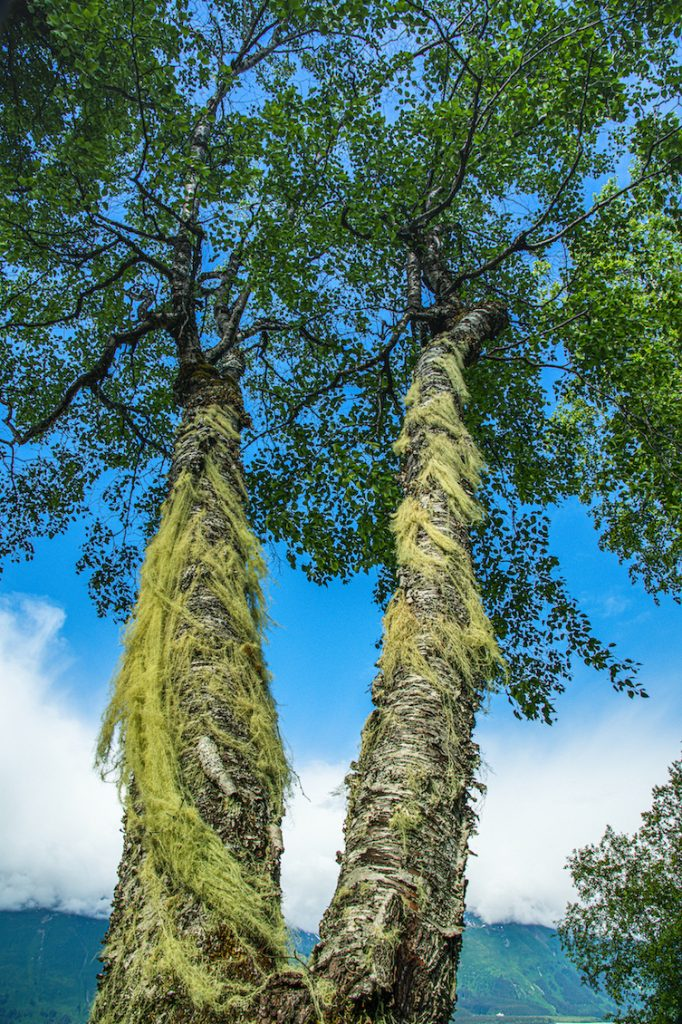 Tree with two trunks is covered in flowing green lichen and has a bright green canopy